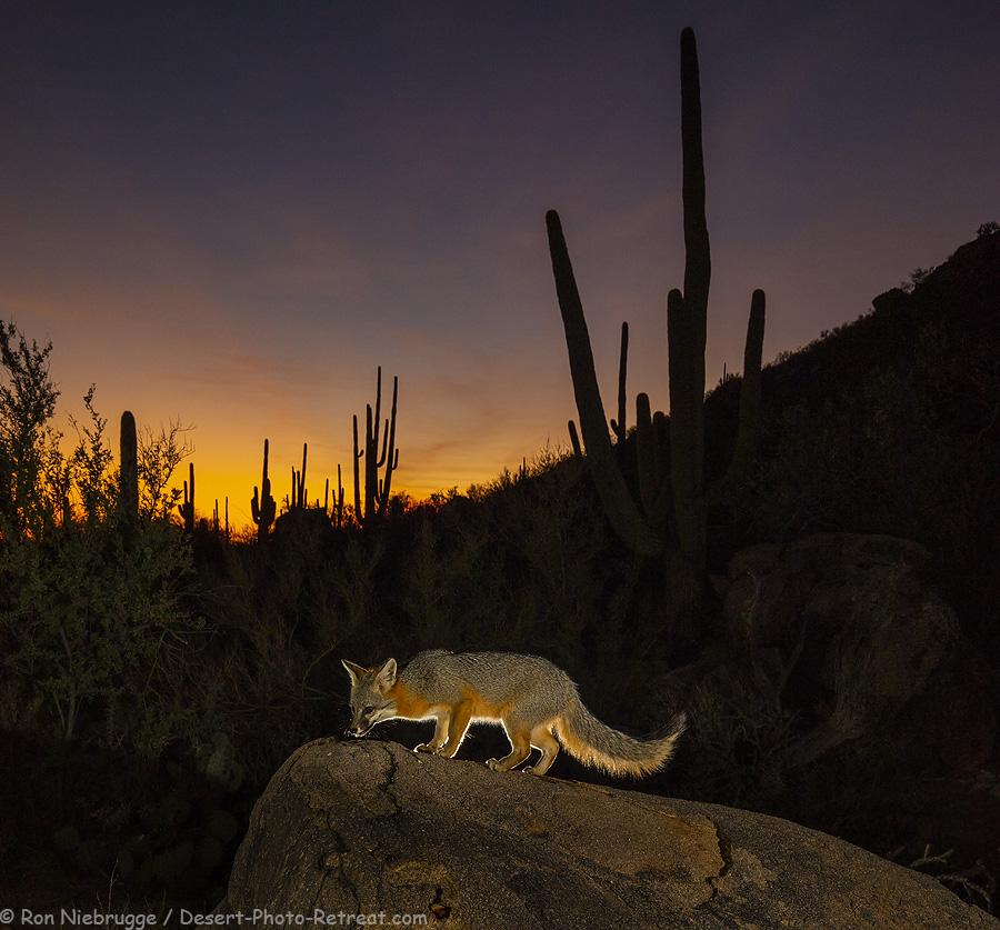 Gray-fox-night.jpg