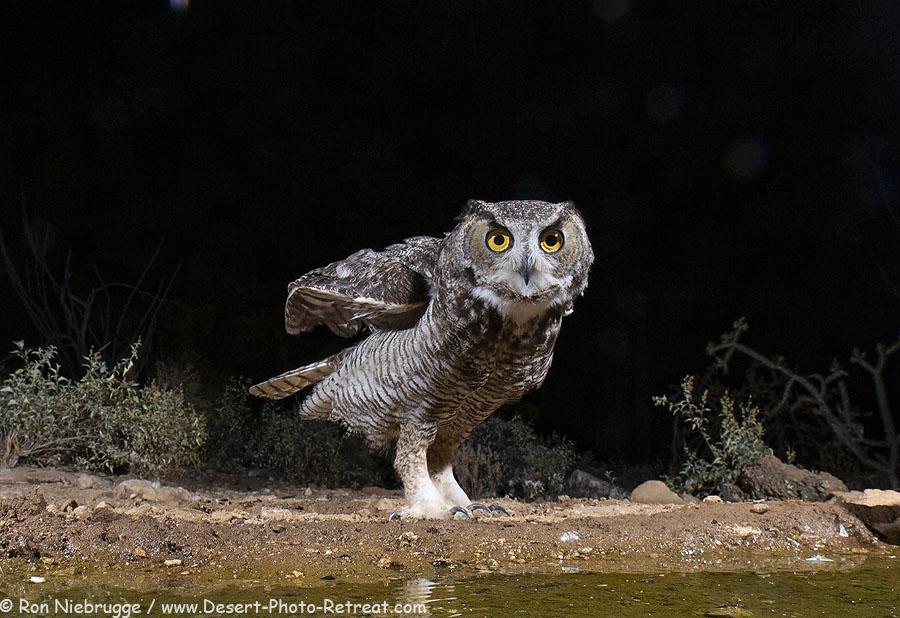 Western-Screech-Owl.jpg