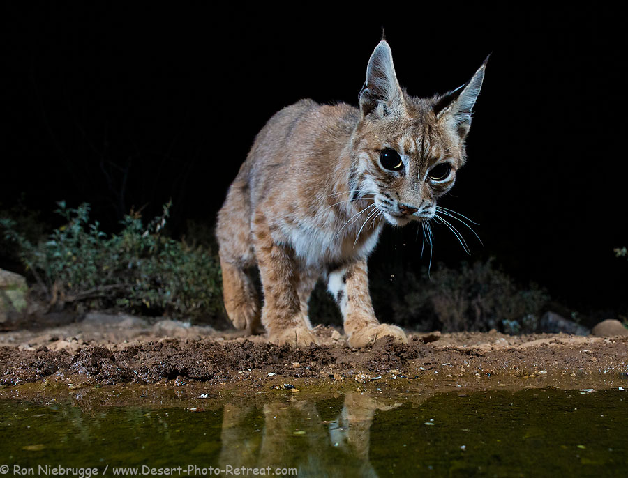 Bobcat-May.jpg