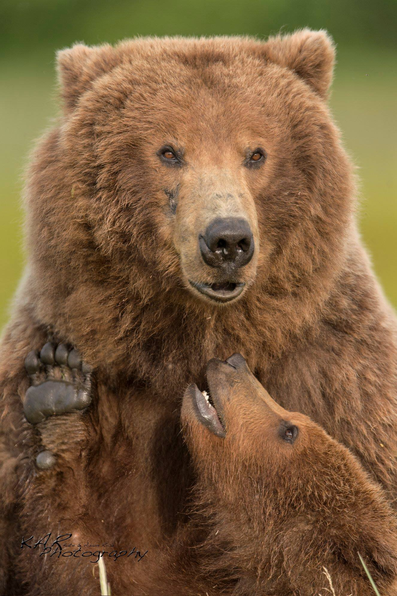 brown bear sow and cub close up.jpg