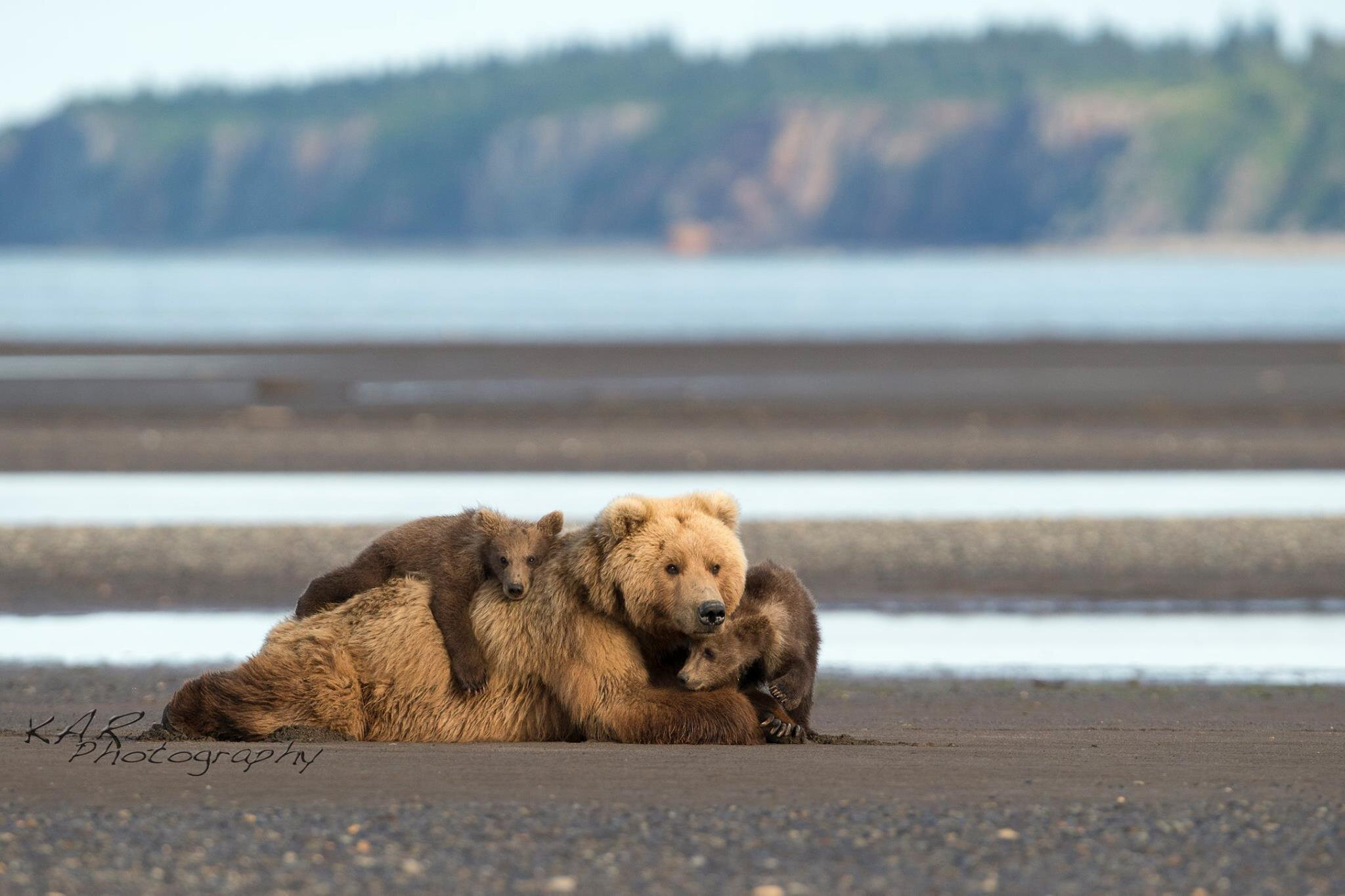 brown bear sow and cubs on beach.jpg