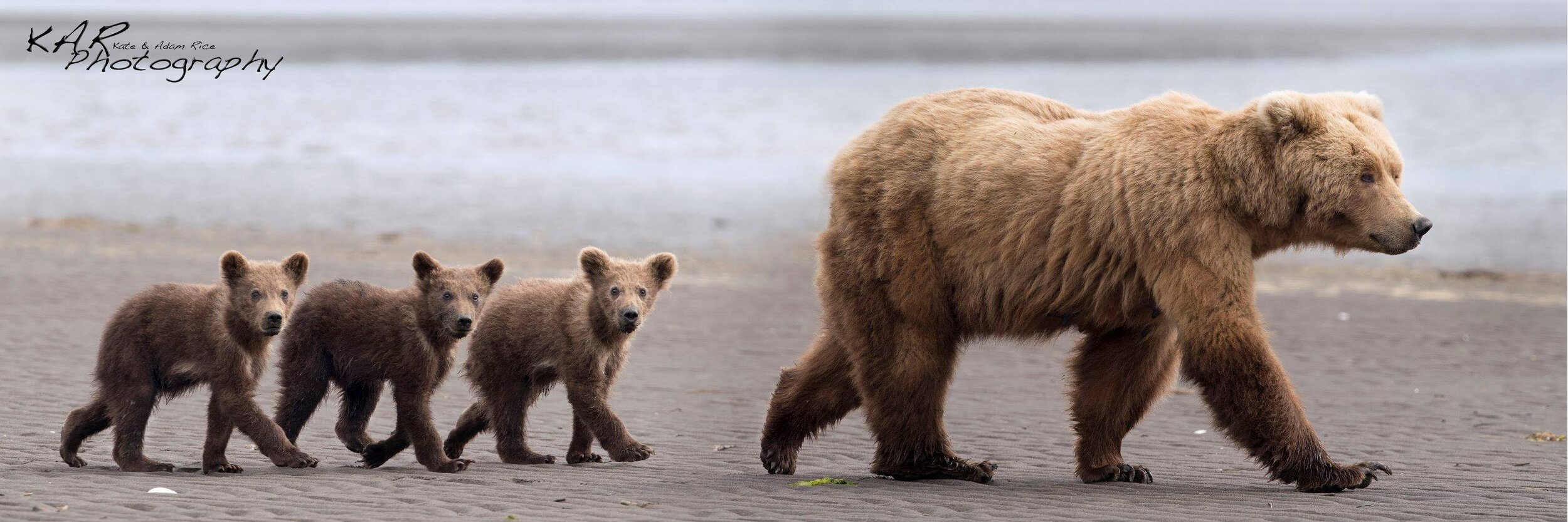 brown bear sow and cubs line pano.jpg