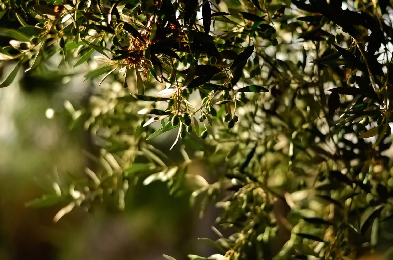 finca-serena_gallery-olive-tree.jpg