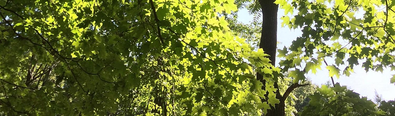 sugar-maple-leaves