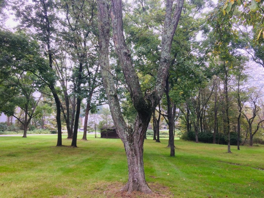 "A mature honey locust between former nursery rows. Over the decades after the farm was abandoned, the trees grew into a ""jungle"" where the weakest trees were shaded out. The trees that remain are the strongest and most resilient. This food forest literally created itself as a highly diversified and productive system. The only maintenance it receives is periodic mowing."