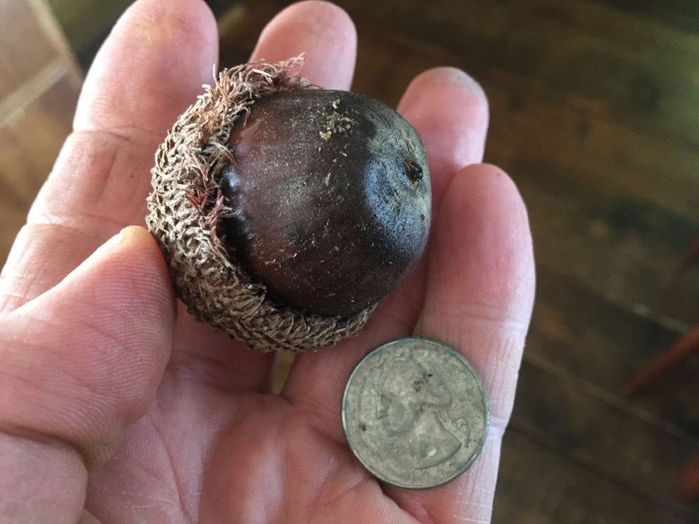 Hershey collected and grew the largest specimens of bur oak acorns he found. Photo courtesy of Buzz Ferver.