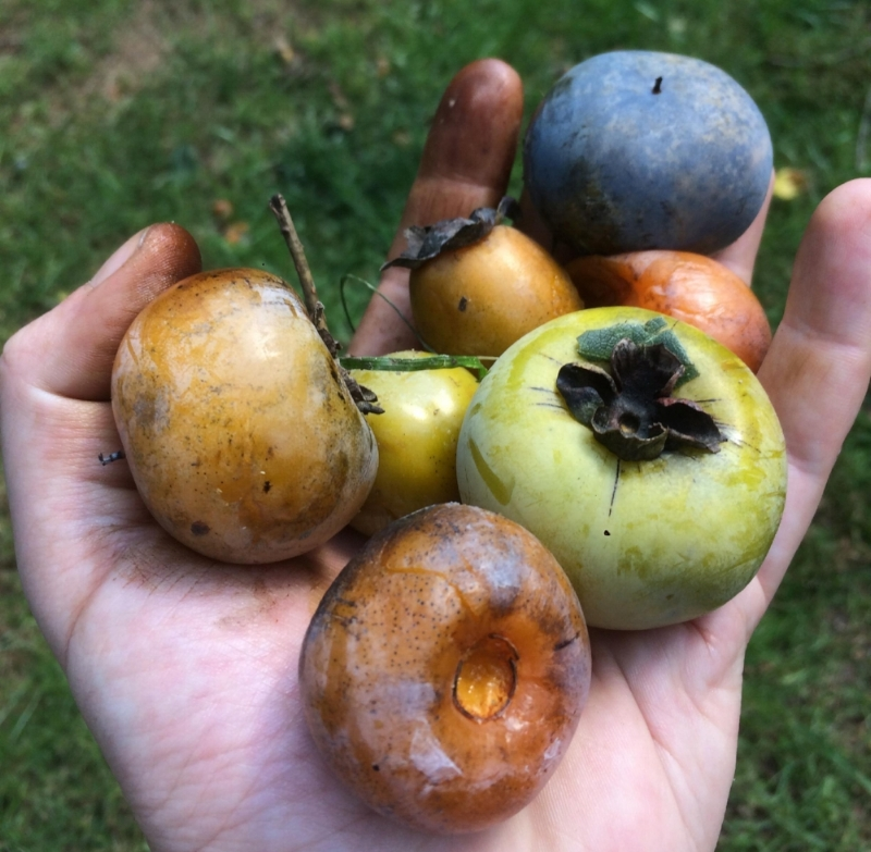 Hershey grew an incredible diversity of American persimmons displaying different shapes and colors - reds, oranges, purples, greens, and more.