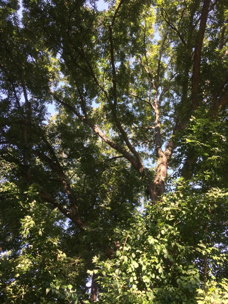 We gathered hundreds of pecans from just the lowest branches that we could reach. Looking up into the canopy of a giant tree like this, it is clear what the productive potential is for tree crop systems in the Northeast.