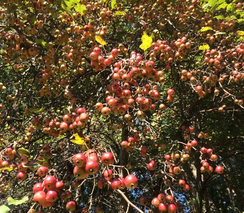 Delicious crabapples larger than a quarter, bearing abundantly every year without sprays. These will hang on late into winter.