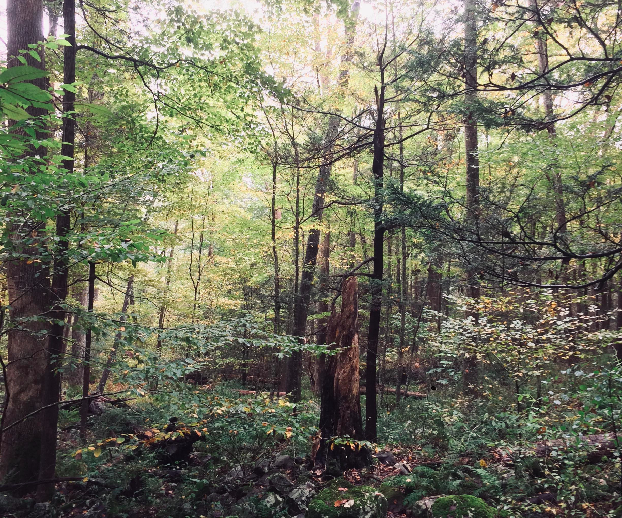 Some of the trees are not resistant, and hemlock woolly adelgid is very much present at the site