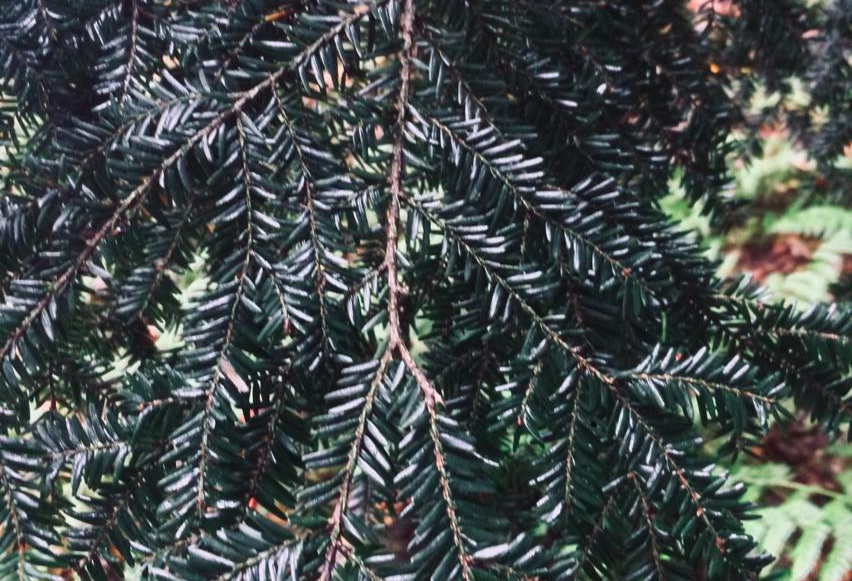 Dark, glossy foliage on a resistant tree. Elevated levels of terpenes may be what allow this tree to repel infestation