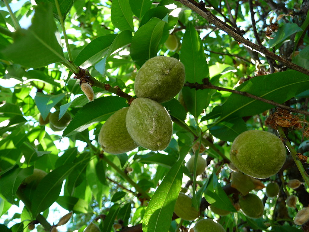 Almond fruits are fuzzy like their close relative, the peach. ( photo source )