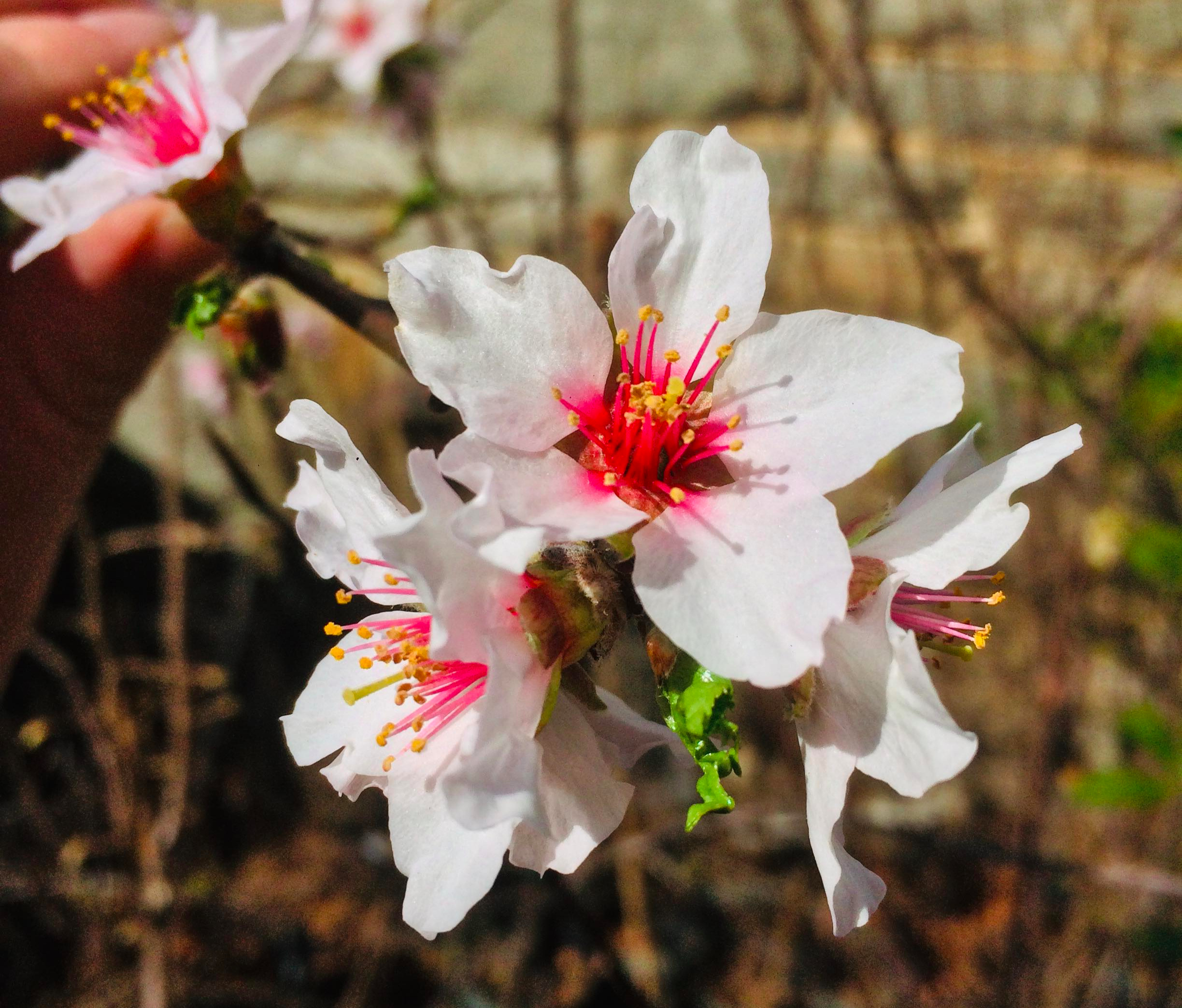 Blossoms from Javid's Iranian almond - a cold hardy variety that can grow as far north as zone 5 (southern Vermont and Maine)