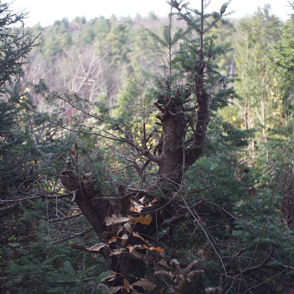 One farm in Western Massachusetts is reviving the ancient art of coppicing, using native conifers.  Photo source .