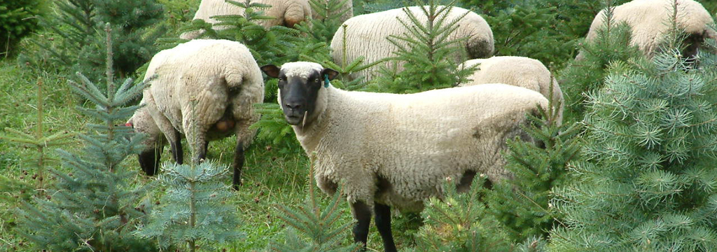Sheep, cattle, and other livestock can all be seamlessly integrated into Christmas tree farms.  Photo source .