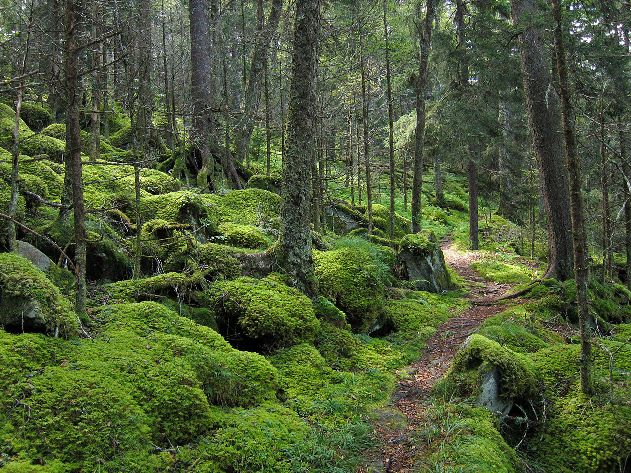 The Appalachian temperate rainforest is a unique environment dominated by evergreens, mosses, and unique fauna. As our region gets wetter in the coming decades, we hope to create a facsimile of this type of forest.