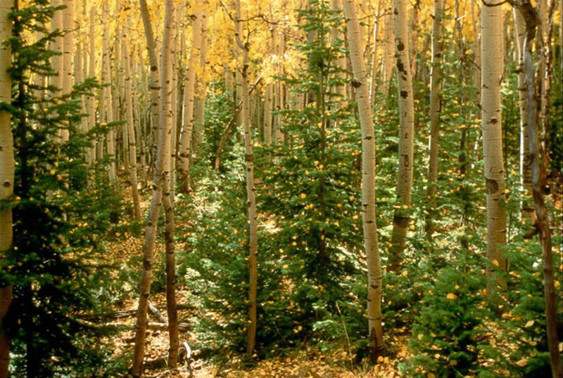 Spruce and fir often grow well in the understory of deciduous forests in the wild. Our system is modeled on ecosystems like this, except with tree crops in the overstory and berries in the bottom layer.  Photo source .
