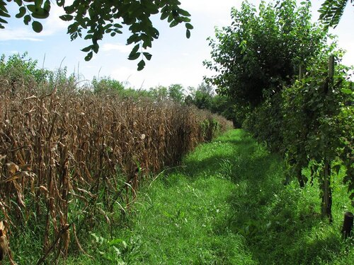 A strip of maize between rows of mulberry and grape.