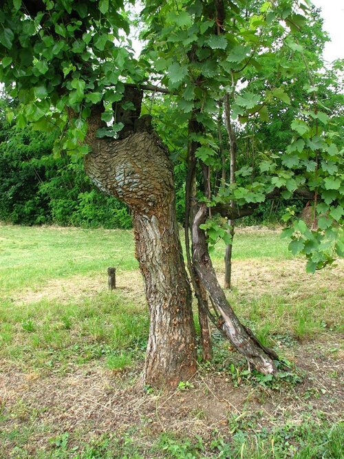A grape vine is trellised in a mulberry tree