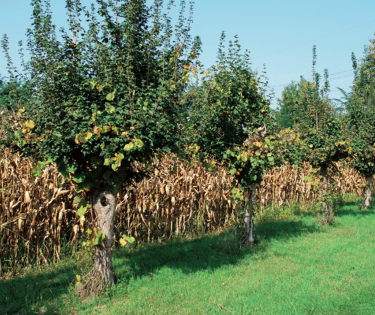 A row of field maples ( Acer campestre ) trellis grape vines, and are pollarded to harvest 'tree hay' fodder for livestock. Maize grows beside the row. The grapes are harvested to make wine. Source .