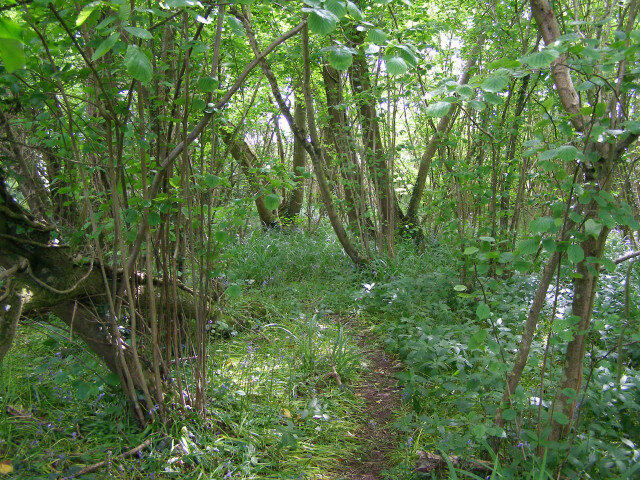 A wide range of woodland perennials naturally grow in coppice woods - including wild foraged delicacies like ramson (wild leeks)