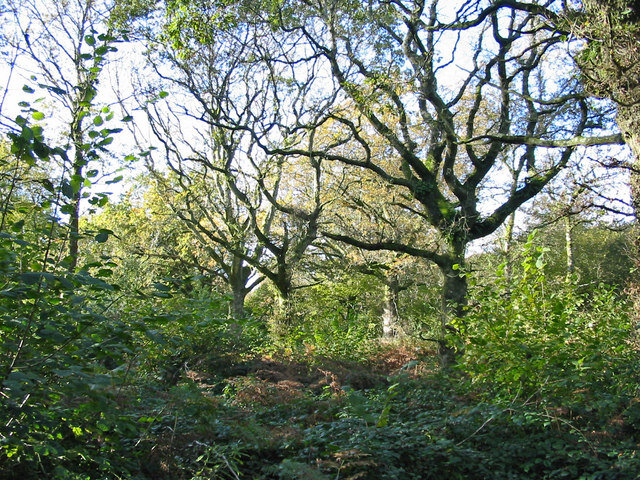 Oftentimes hazel coppices include 'standards', or uncoppiced trees. These oak standards around coppiced hazels in England show what Mesolithic nut orchards may have looked like