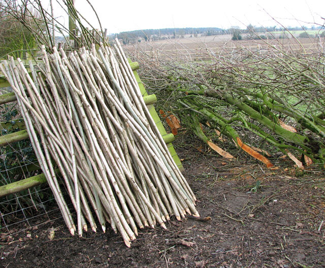 Coppicing hazel shrubs every 5-10 years provides extremely useful poles that can be used for stakes, firewood, construction, tools and tool handles, weapons, fences, and crafts
