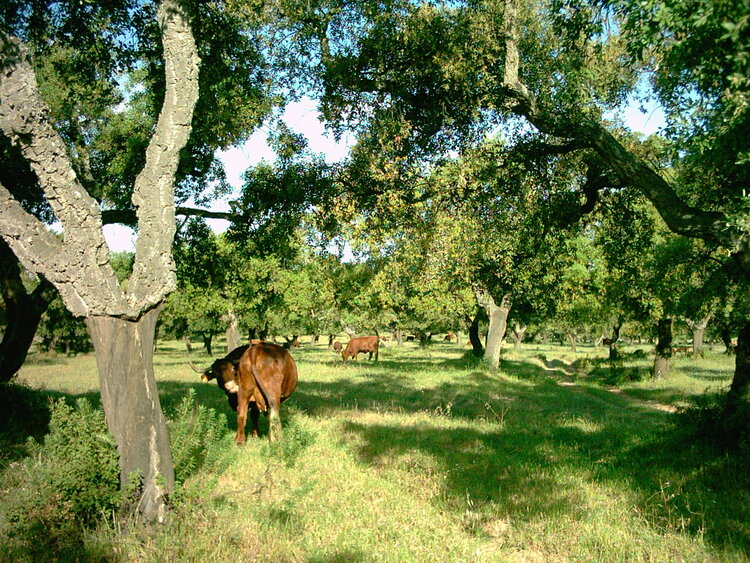 Cattle graze in a cork oak savannah - a classic dehesa ecosystem that produces much of the cork used in Europe's wine industry. The cork is in the bark of the tree and is periodically removed, as can be seen here. Source .
