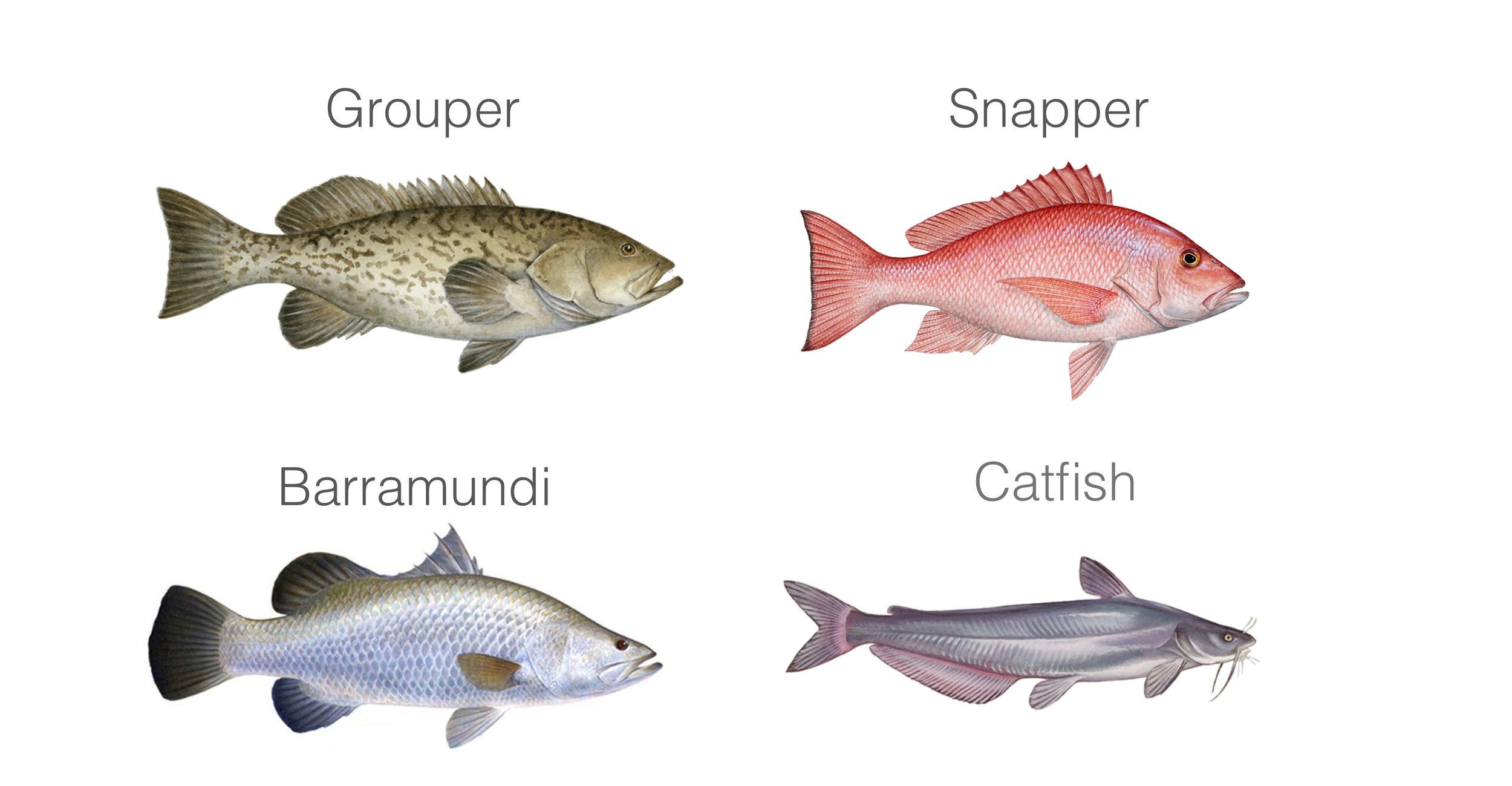 Target fish species at pasir ris and pulau ubin, Grouper, snapper, barramundi, catfish
