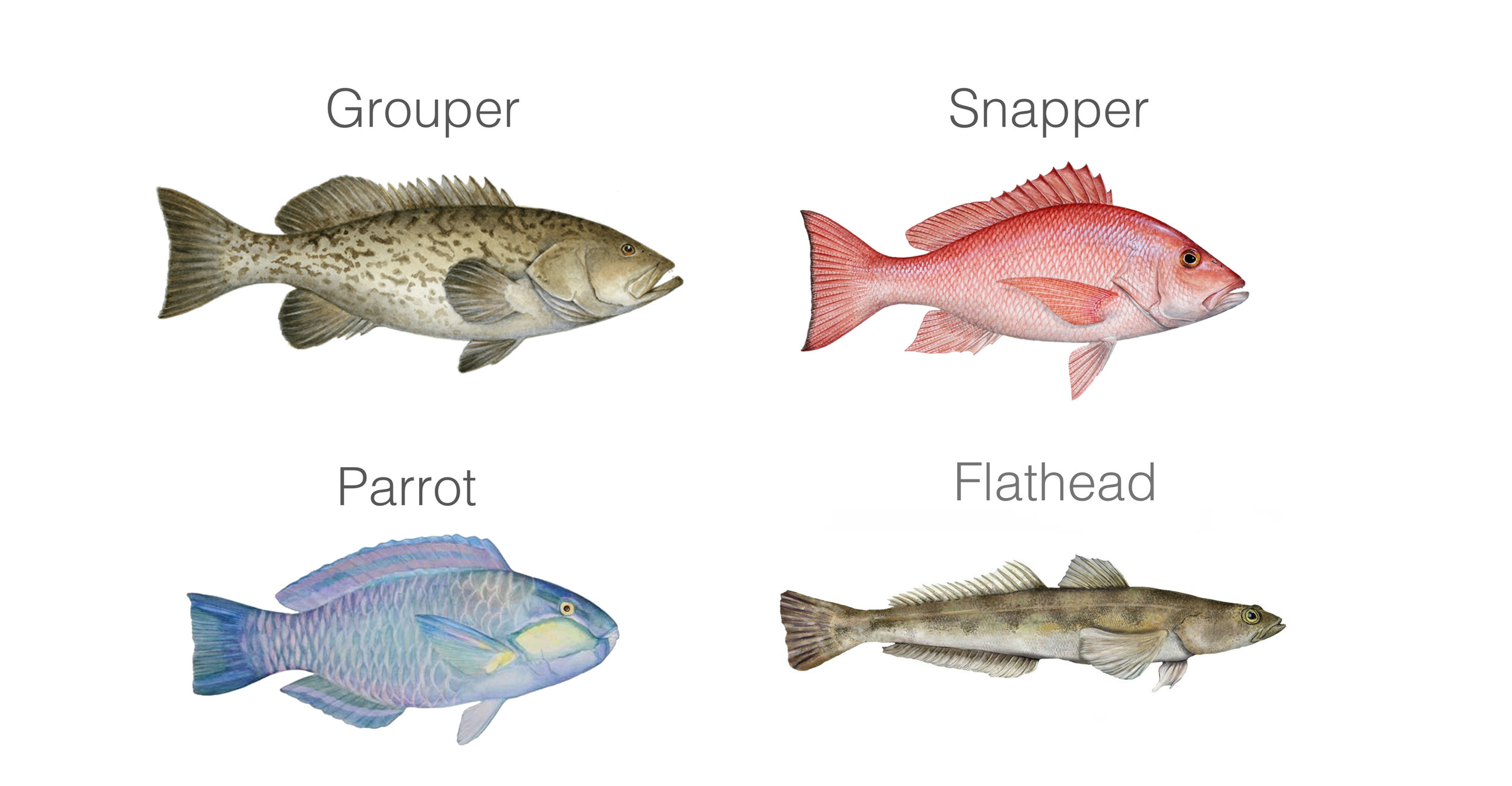 Target Fish Species in Singapore East Coast waters, Grouper, Snapper, Parrot, Flatheads fish