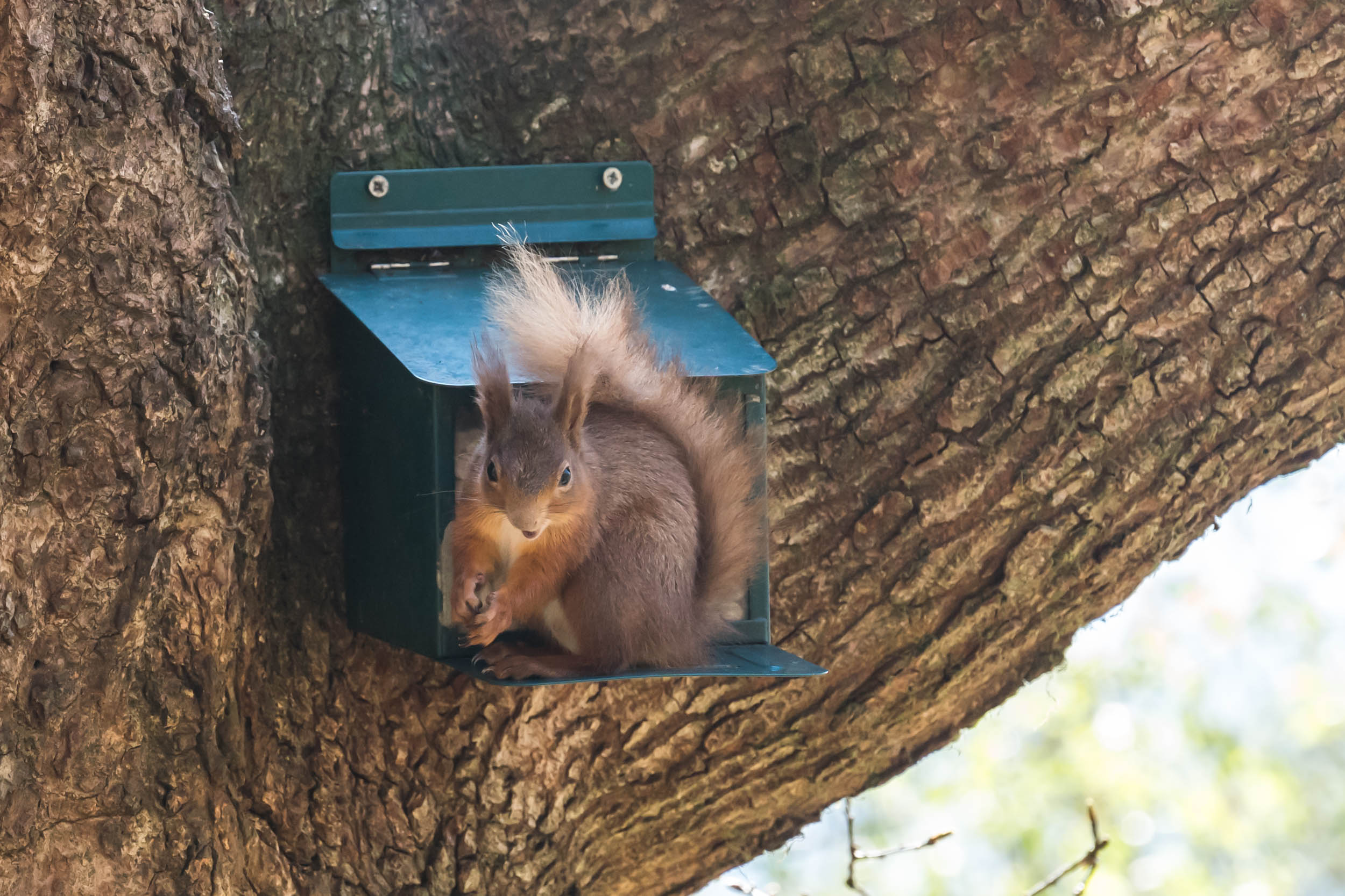 Red-Squirrels-Cormonachan-Woodlands-01444.jpg