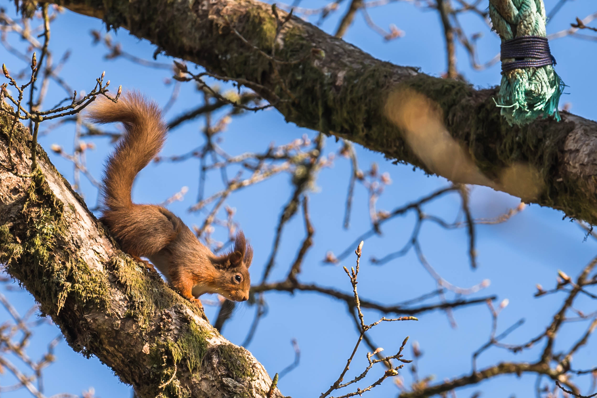 Red-Squirrels-Cormonachan-Woodlands-01326.jpg