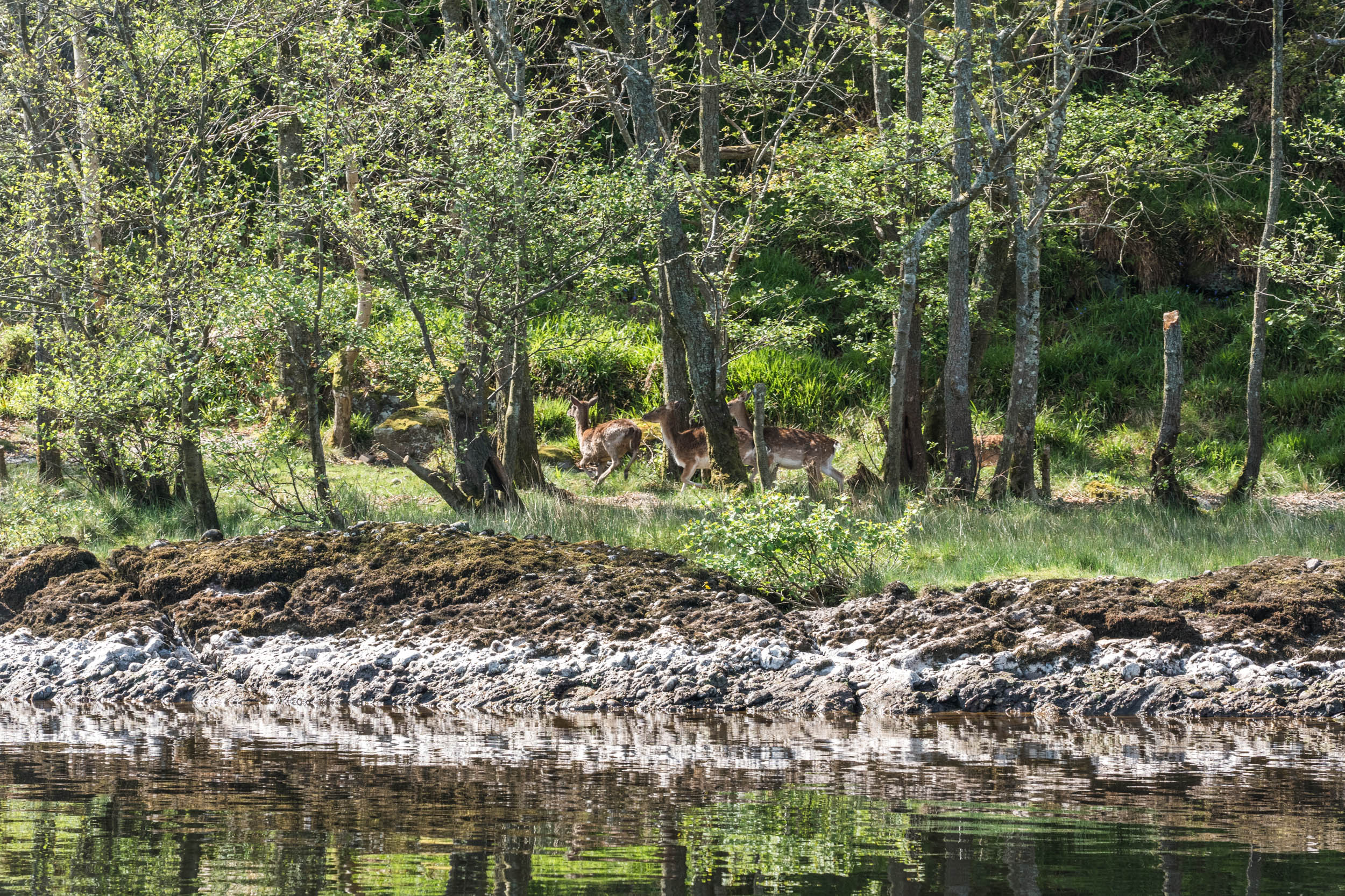 Deer on approach to Inchcailloch Island