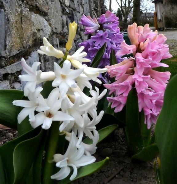 Hyacinths for webs-min.jpg
