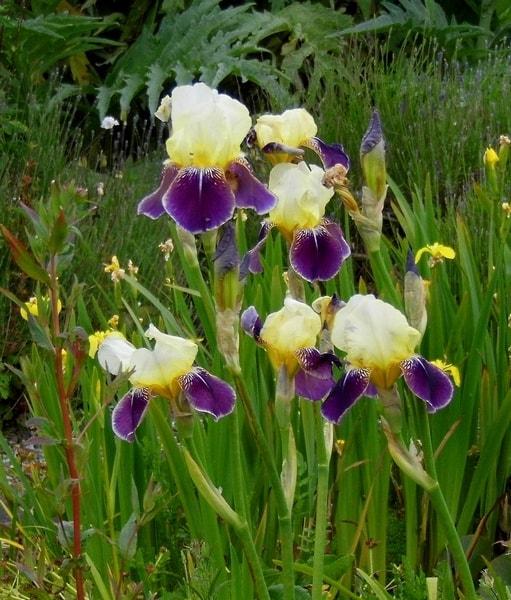 Irises for webs-min.JPG