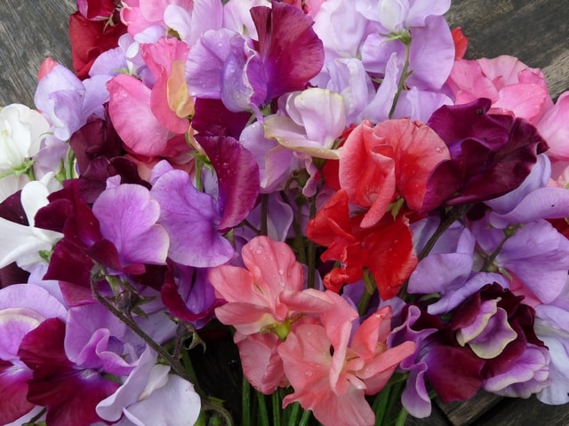 Aug 11 199 sweet peas c r-min.jpg