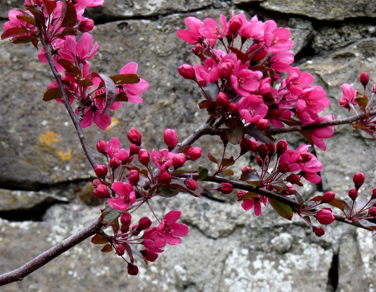 blossom against wall for 2017-min.jpg