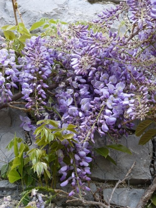 wisteria webs.JPG