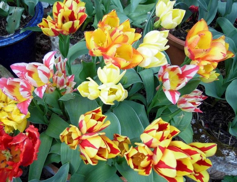 Yellow tulips webs-min.JPG