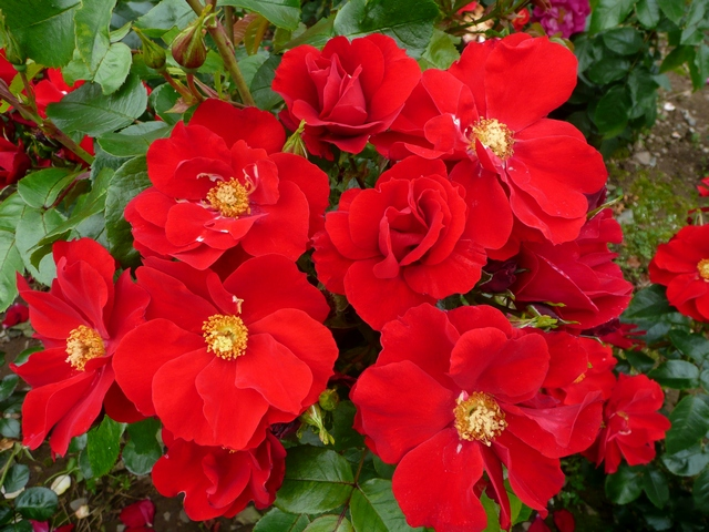 In our gardens - The WB Yeats rose is now becoming widely available, and lots of people are enjoying it in their gardens.With such a long flowering season, remember to mulch your rose, and prune back hard at the end of the year/early spring, as WB Yeats tends to only shed its leaves in very cold areas. Pruning should remove last year's leaves that otherwise will look less than happy the following year. Keep your rose well fed.Enjoy!