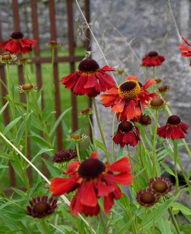 Helenium Moorheim Beauty slideshow r.jpg