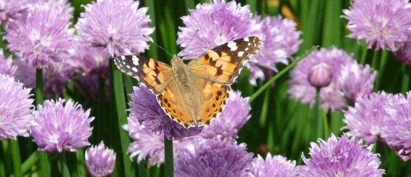 butterfly chives strip website-min.JPG