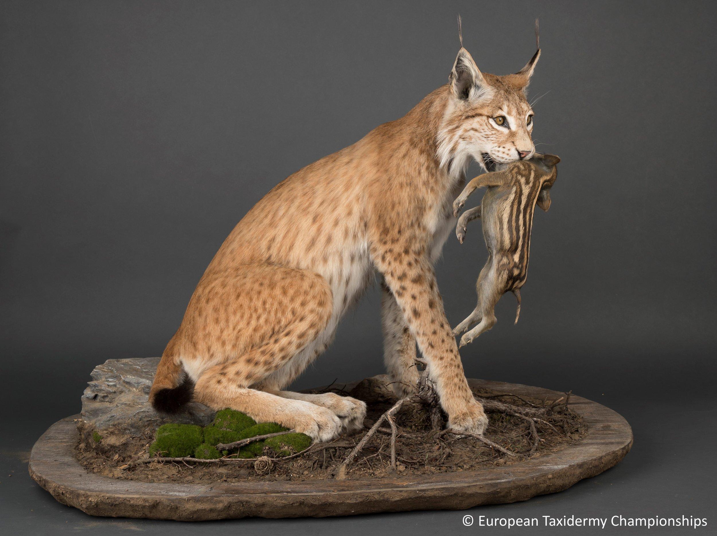 Eurasian Lynx.jpg