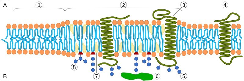 Figure 3  : Schematic representation of Lipid Raft. A Intracellular space or cytosol. B Extracellular space or vesicle/Golgi apparatus lumen. 1. Non-raft membrane, 2. Lipid raft, 3. Lipid raft associated transmembrane protein, 4. Non-raft membrane protein, 5. Glycosylation modifications (on glycoproteins and glycolipids), 6. GPI-anchored protein, 7. Cholesterol, 8. Glycolipid. (  Source  )