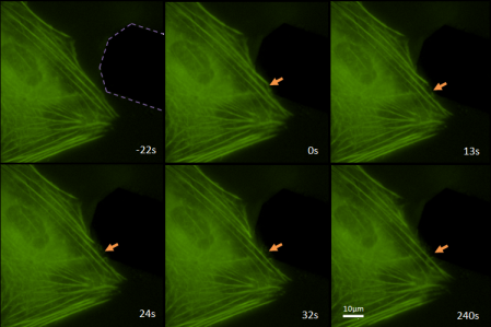 Figure 1: Cutting of an actin fiber with an AFM cantilever. The fiber then depolymerizes from the cut to where it crosses a different fiber