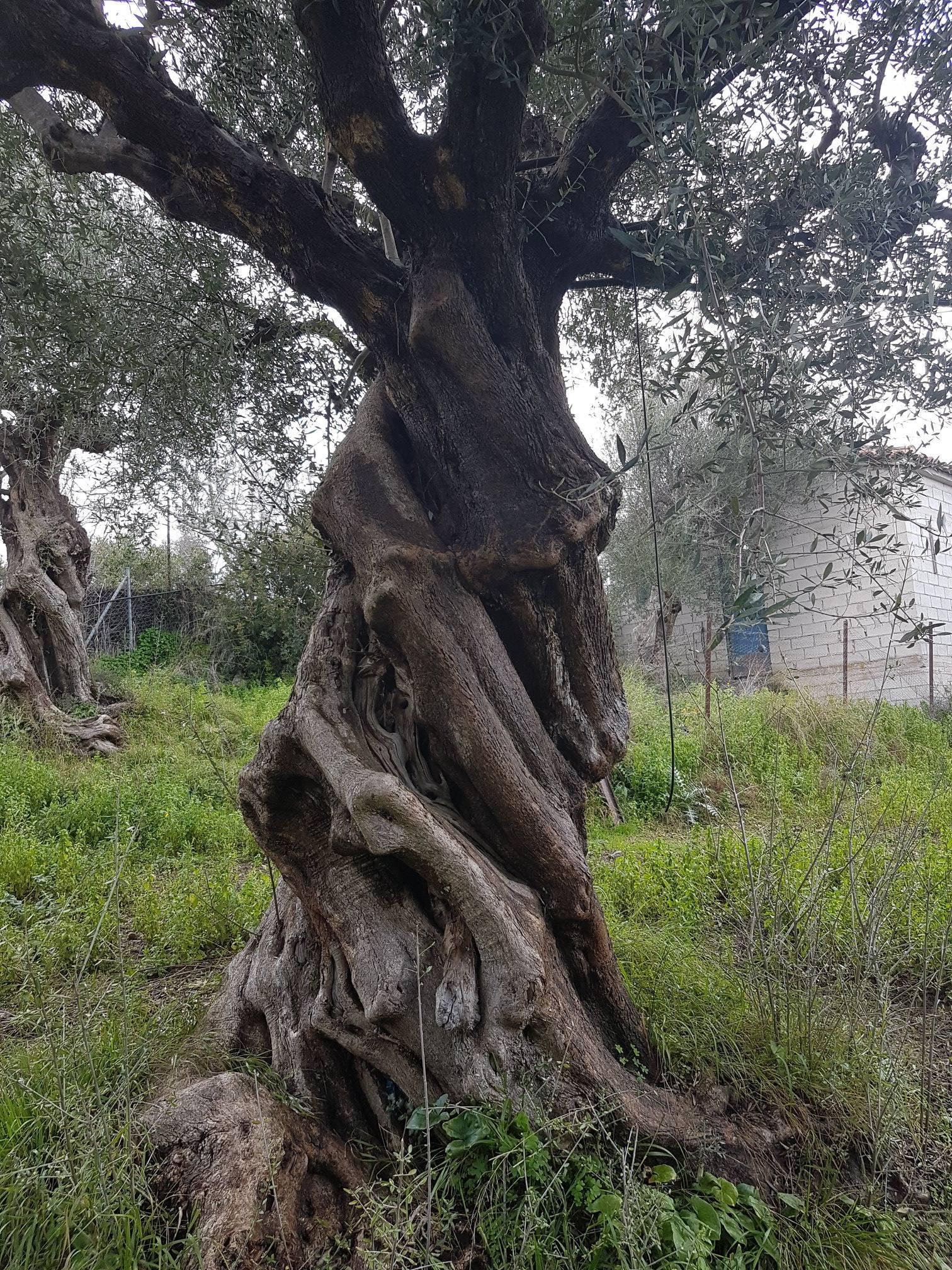 ancient greek olive trees.jpg