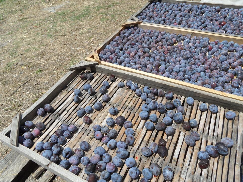 Greek Skopelos plums.jpg