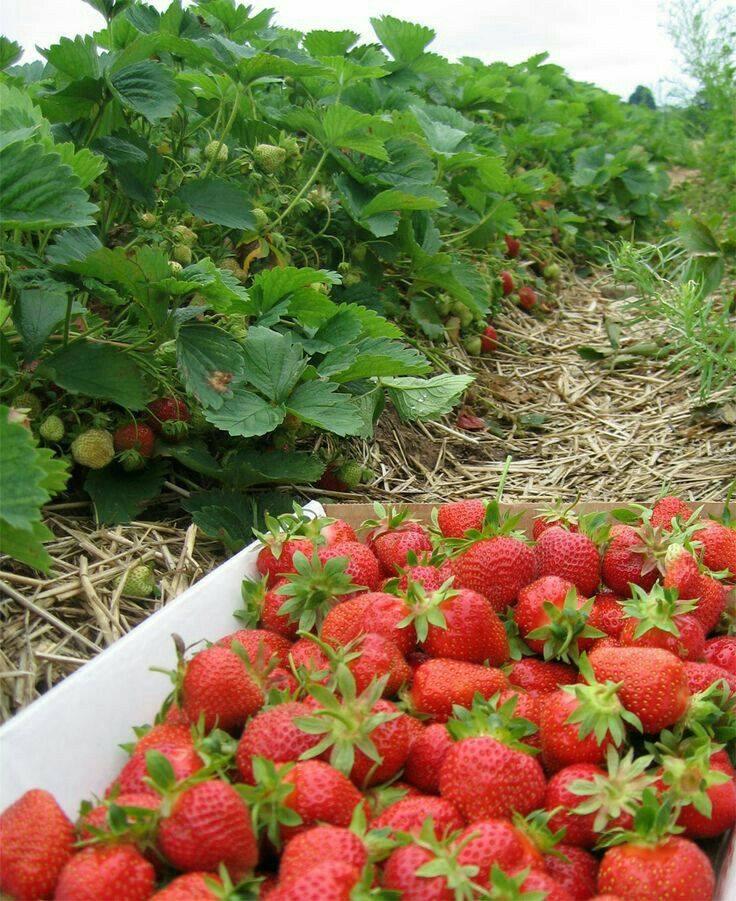 Greek strawberry harvest.jpg