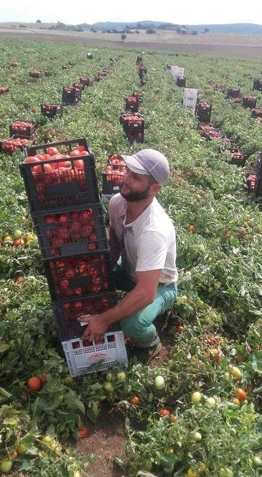 Greek tomato harvest tomators.jpg