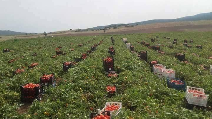 Greek tomato harvest.jpg
